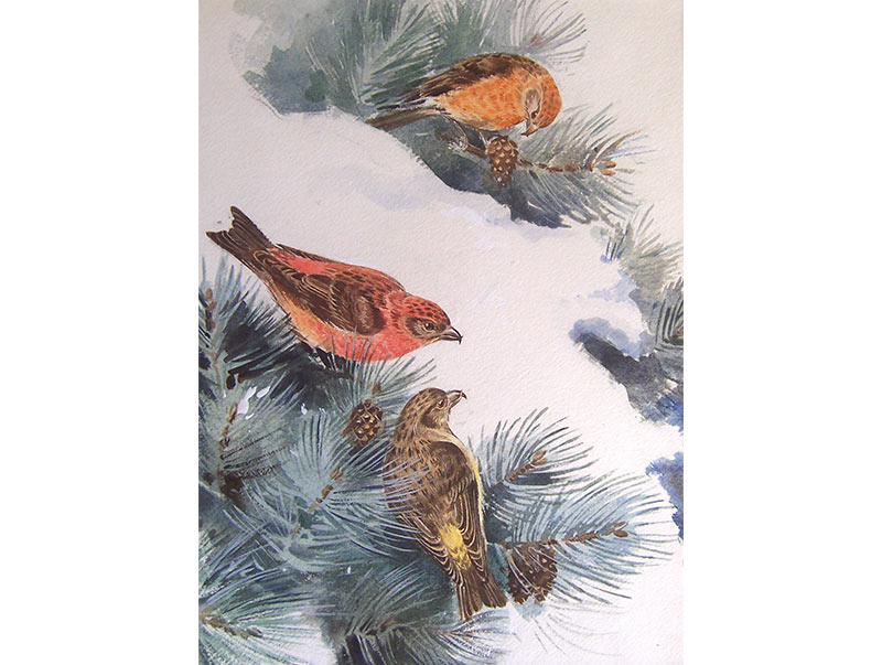 Crossbills on Firs - Eileen Soper